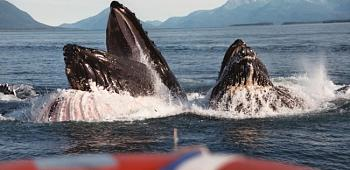 Please give me one good reason to visit Alaska-whalemouth.jpg