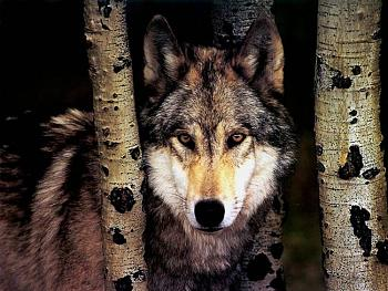 Howling for justice-jlm-wolf01-1024x768.jpg