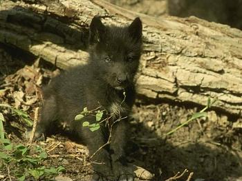 Howling for justice-black-wolf-pup-kewl1.jpg