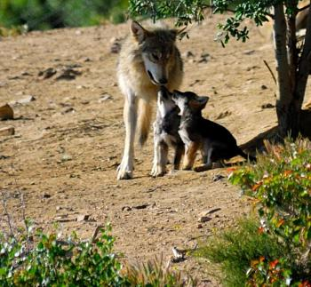 Howling for justice-wolf-pups-tony-norton_0.jpg