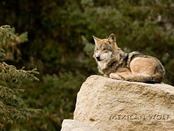 Howling for justice-mexican_wolves_00001903.jpg