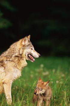 Howling for justice-wolf.jpg