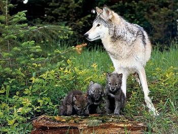 Howling for justice-wolf-pups.jpg