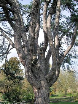 Lord of the Rings-tolkiens_favorite_tree-_oxford_botanical_garden_50.jpg