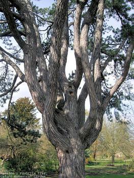 Lord of the Rings-tolkiens_favorite_tree-_oxford_botanical_garden_50.jpg