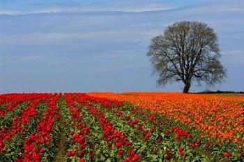 Homesteading-tulips.jpg