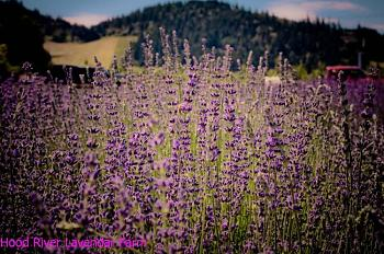 Sunriver-hood-river-lavendar-farm.jpg