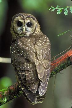 Sunriver-northern_spotted_owl.jpg