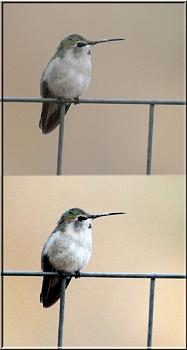 The Canadian Picture Thread!-hummingbird-texas.jpg