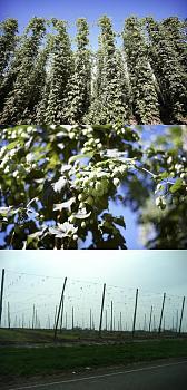 Hops Rhizomes-h3.jpg