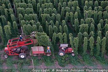 Hops Rhizomes-hops-willamette-valley.jpg