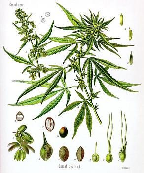 Canada has gone to pot?-cannabis-sativa-koehler-drawing_sm.jpg