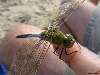Canadian Camping-dragonfly4.jpg