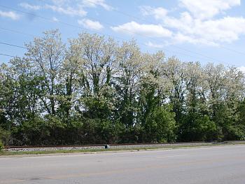 locust trees and honeysuckle-locust-trees-1.jpg