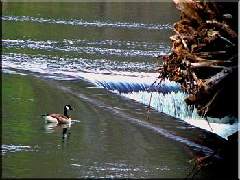 November Picture of the Month Contest-lonely-canadian-goose-z-dam-richmond-va.jpg