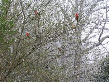 February Picture of the Month-snow-cardinals-april-2-2005-small-.jpg