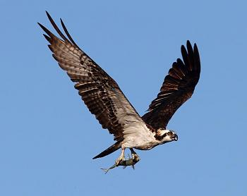July Photo of the Month Contest-1342463570842-osprey_flight_with_fish.jpg