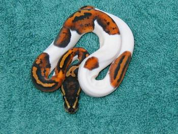 Any reptile owners?-piebald2.jpg