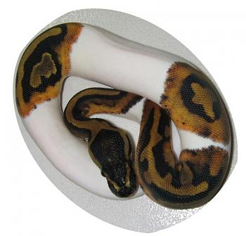 Any reptile owners?-piebald3.jpg