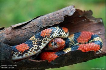 Any reptile owners?-scarlet-snake.jpg