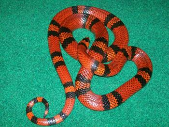 Any reptile owners?-tangerine-honduran.jpg