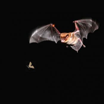 Mosquito Repellent-bats2_h.jpg