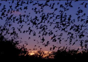 Mosquito Repellent-bats.jpg