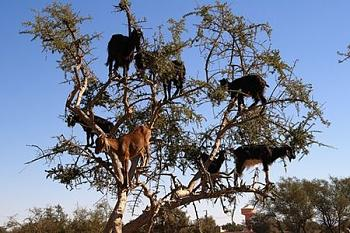 Chainsaws........ Revisited!-tree_goats3.jpg