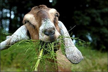 Chainsaws........ Revisited!-grass-goat.jpg