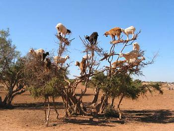 Chainsaws........ Revisited!-goats-tree.jpg