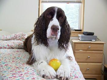 Billy, our English Springer, has cancer.-100_0808.jpg