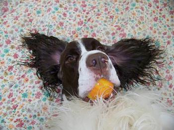 Billy, our English Springer, has cancer.-100_0805.jpg
