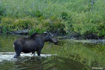 Glacier National Park-glacier-national-park-wildlife-moose.jpg