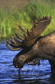 Must SEE to BELIEVE-moose.jpg