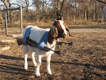 Jon Huntsman bitten by goat-goat-gun.jpg