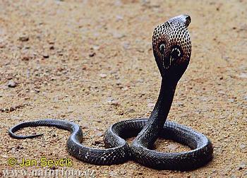 How to Catch a Deadly Runaway Cobra-indian-cobra-naja-naja-2.jpg