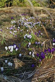random pictures from your camera-crocus.jpg