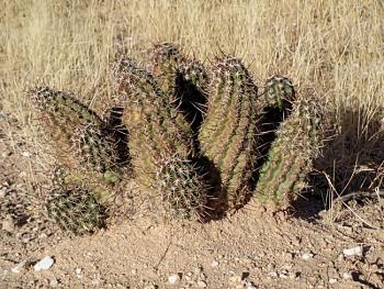 Just a Place to post anything on your mind-cacti-hedgehog.jpg