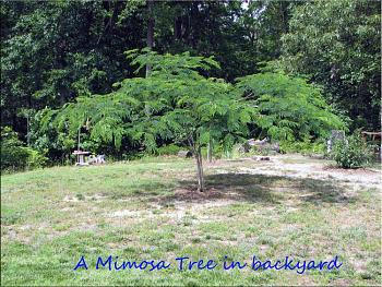 random pictures from your camera-mimosa-tree-backyard.jpg