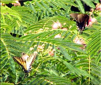 random pictures from your camera-eastern-tiger-swallowtail-butterfly-two-species%3D.jpg