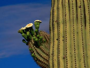 How BIG will a SAGUARO get?-polich-carol-flowering-saguaro-cactus-sonoran-desert-california-usa.jpg