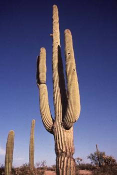 How BIG will a SAGUARO get?-saguaro.jpg