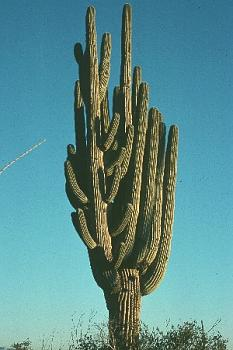 How BIG will a SAGUARO get?-saguarochamp.jpg