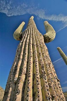 How BIG will a SAGUARO get?-saguaro-grand-canyon.jpg