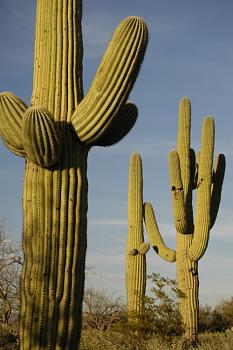 How BIG will a SAGUARO get?-tucson-saguaro.jpg
