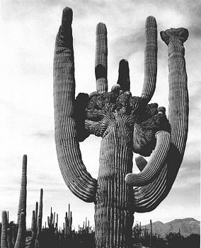 How BIG will a SAGUARO get?-saguaro_cactus_aan05.jpg