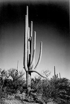 How BIG will a SAGUARO get?-saguaro_cactus_aan01.jpg