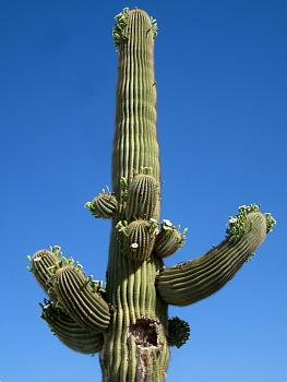 How BIG will a SAGUARO get?-saguaro-arms-blossoms-162.jpg