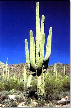 How BIG will a SAGUARO get?-giant_saguaro_cactus_jpg.jpg