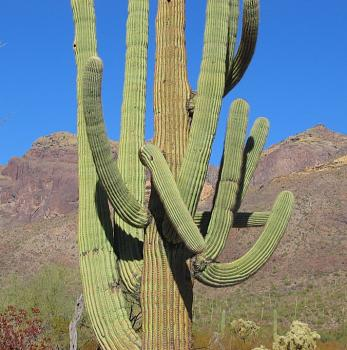 How BIG will a SAGUARO get?-saguaro74.jpg